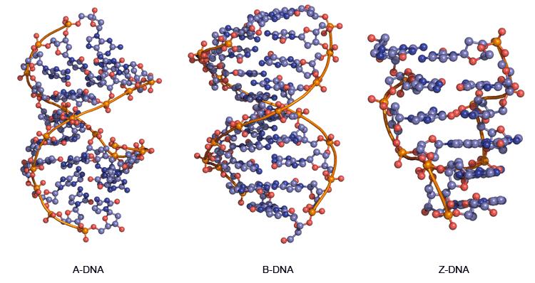核酸(遗传物质)的结构